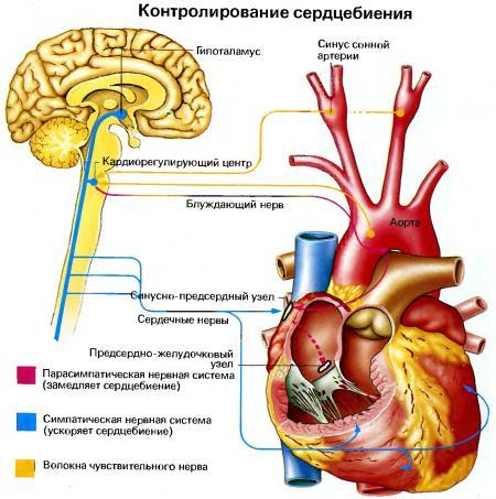 Сердцебиение при сексе